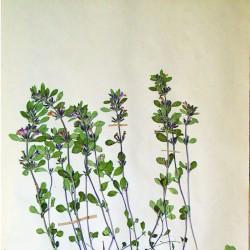 033-herb.jpg